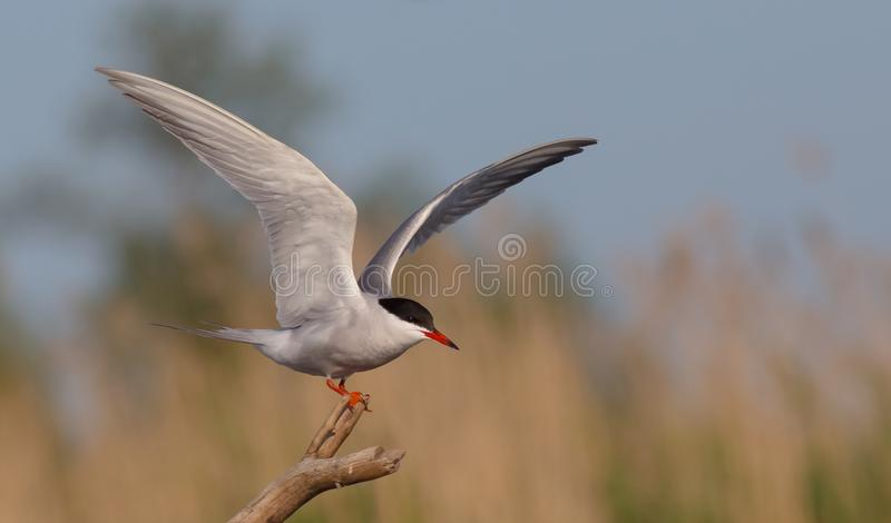 Common Tern - Sterna hirundo royalty free stock photos
