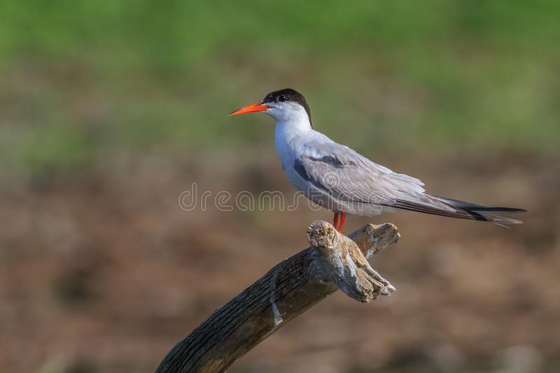 Common tern sterna hirundo royalty free stock photography