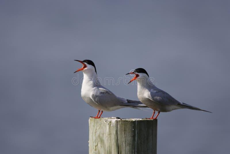 Download Common Tern (Sterna Hirundo Hirundo) Stock Image - Image: 6870221
