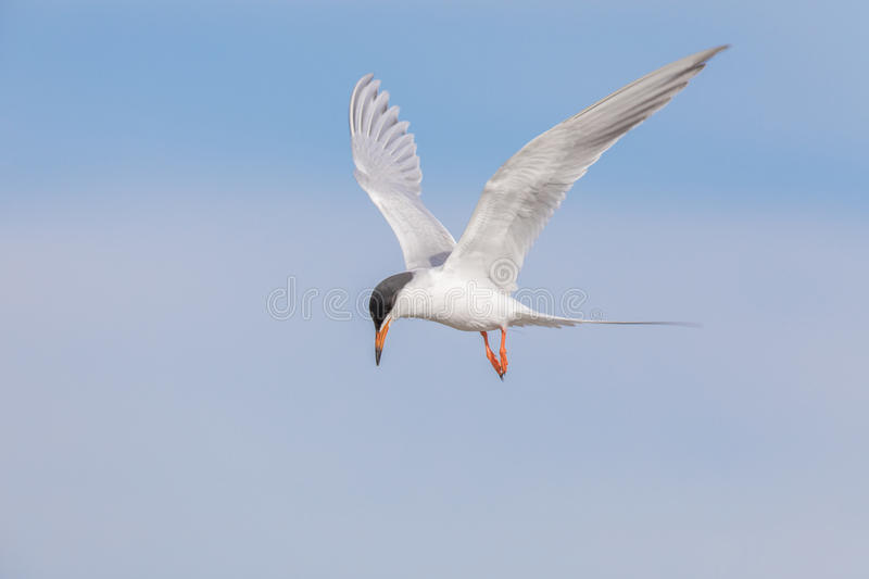 Common tern Sterna hirundo hovering and searching for fish. Adult Male. Santa Clara County, California, USA royalty free stock image