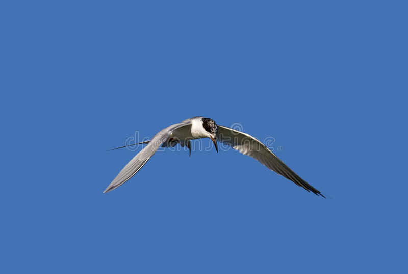 Download Common Tern (Sterna Hirundo) Stock Photo - Image: 30585362
