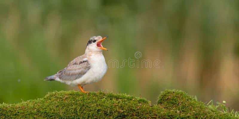 Common Tern - Sterna hirundo - juvenil imagem de stock royalty free