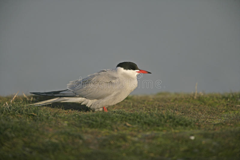 Common tern, Sterna hirundo royalty free stock image
