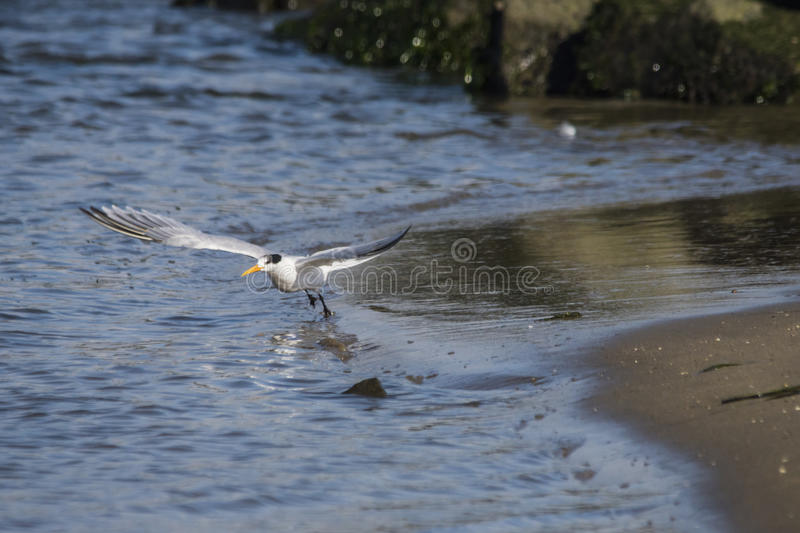 Common Tern on take-off royalty free stock photography