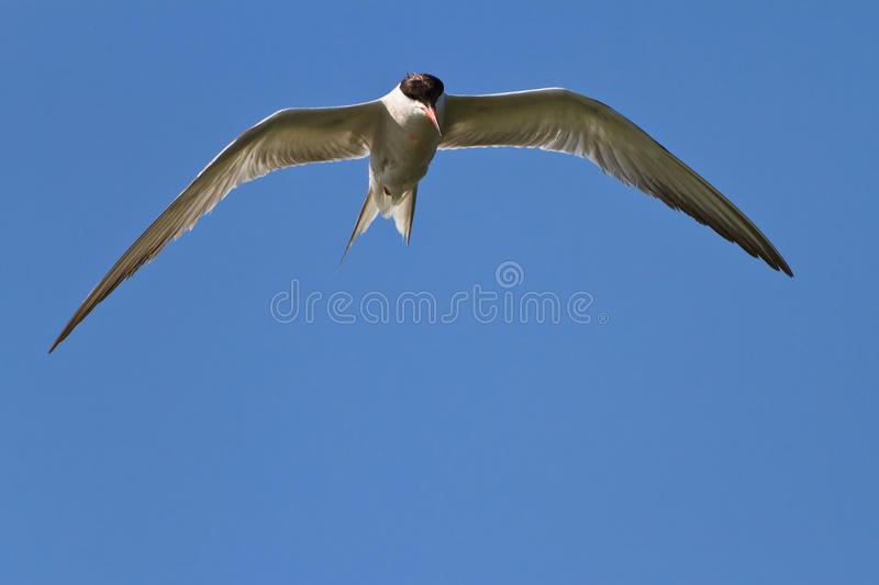 Download Common Terns Stock Image - Image: 22190531