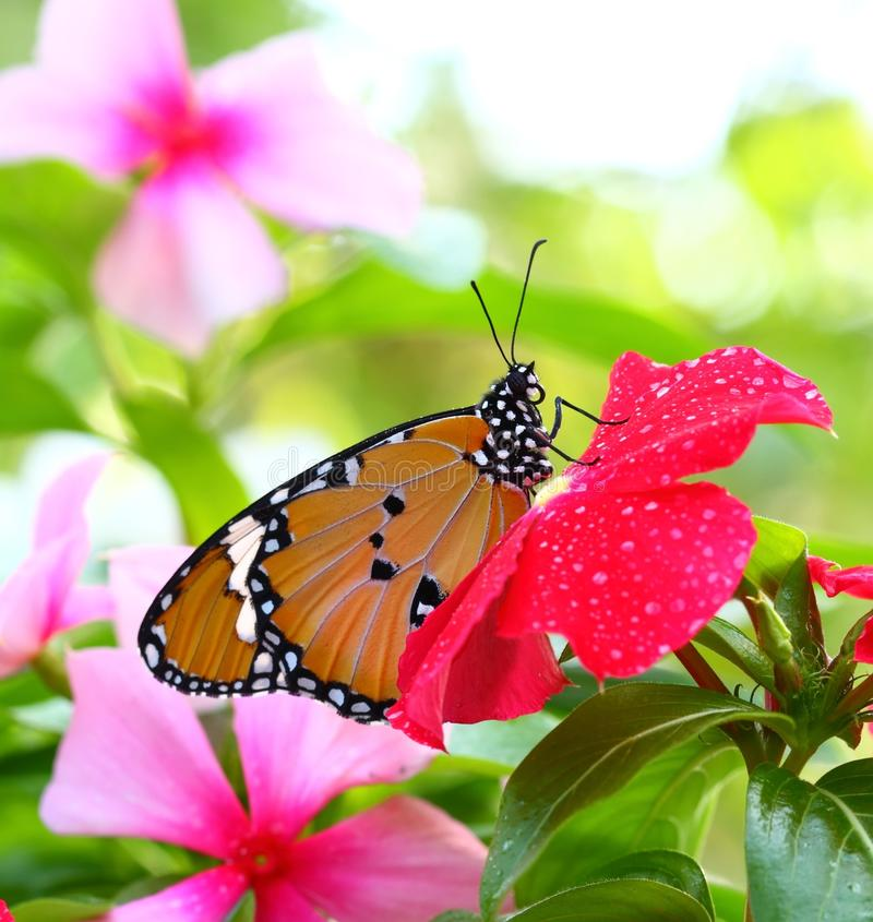 Free Common Tiger Butterfly Royalty Free Stock Photography - 22804467