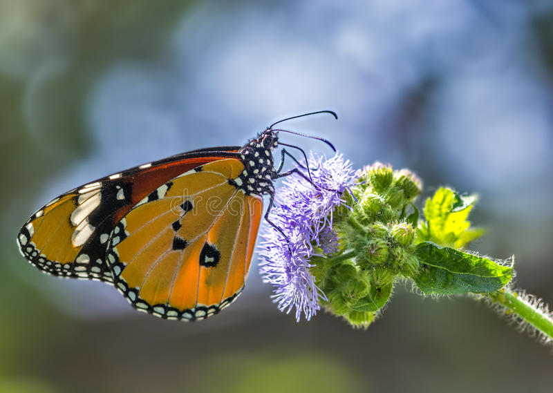 Common Plain tiger butterfly. Sucking nector from the wild flower stock photos