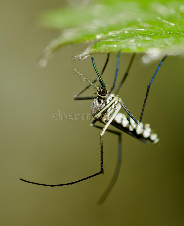 Common tiger mosquito. A common tiger mosquito resting under a leaf stock photography