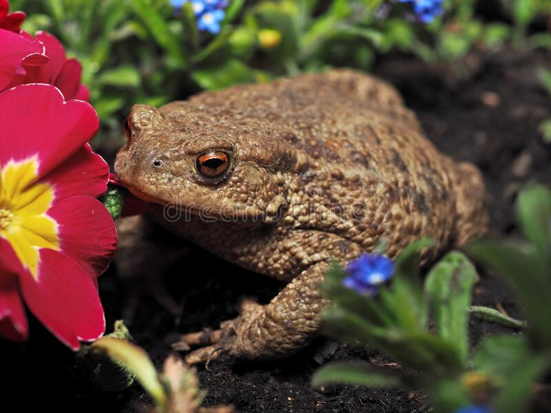 Common toad royalty free stock photography