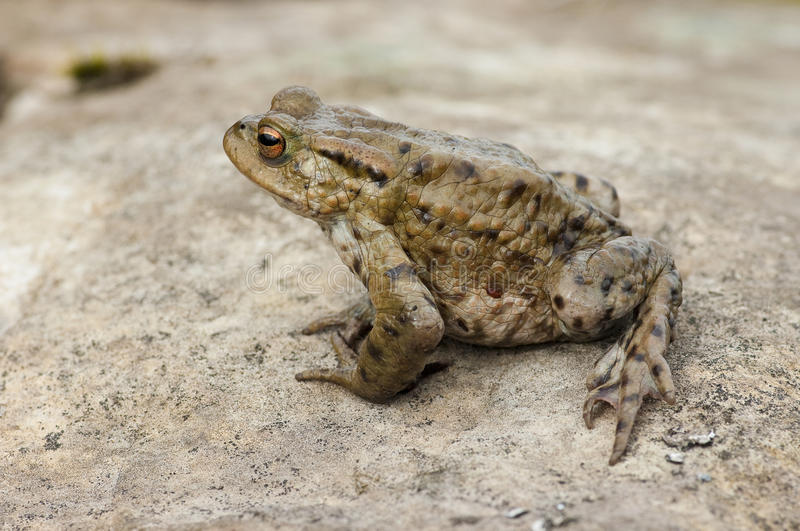 Download Common Toad (Bufo bufo) stock image. Image of bufo, male - 13499499