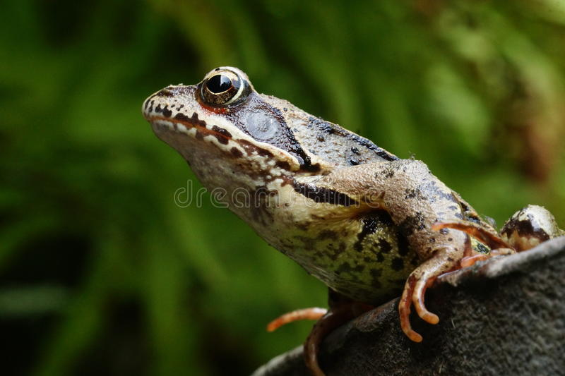 Common toad. The common toad, European toad or in Anglophone parts of Europe, simply the toad (Bufo bufo, from Latin bufo toad), is an amphibian found throughout royalty free stock photo