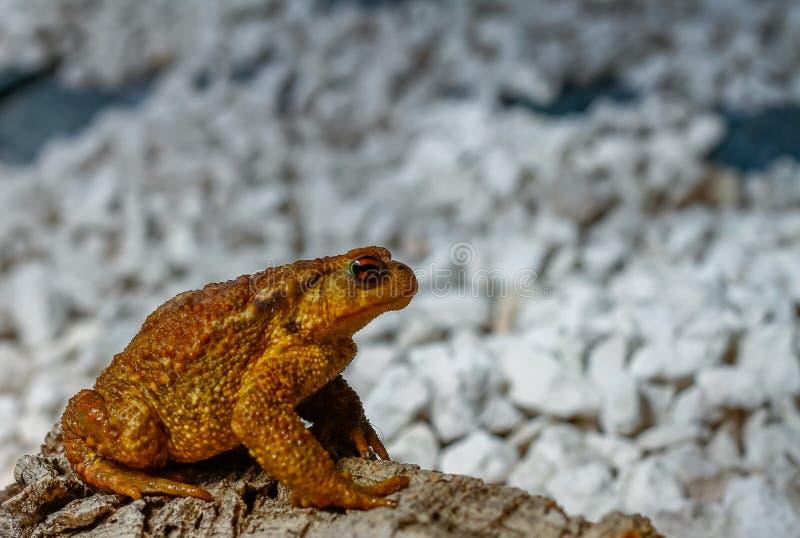 Common toad or European stock photo