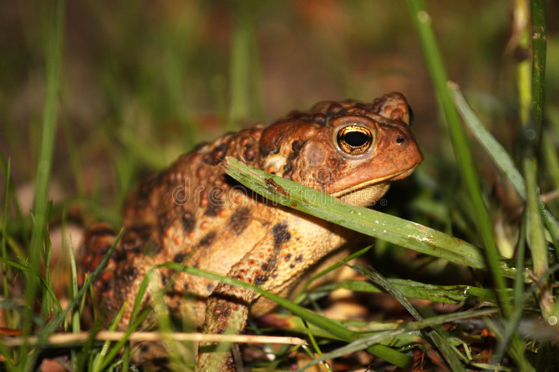 Download Common toad in grass stock photo. Image of reptile, reptilian - 5408444