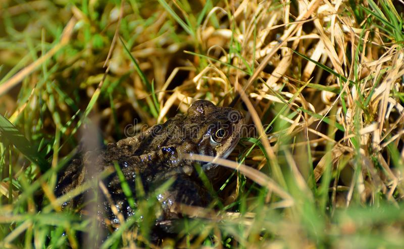 Common toad hiding in grass stock images