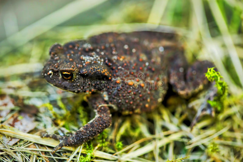 Common Toad in long green grass/Toad. /Common Toad Bufo Bufo royalty free stock photos
