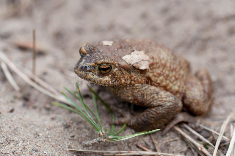 Common toad in nature royalty free stock photo