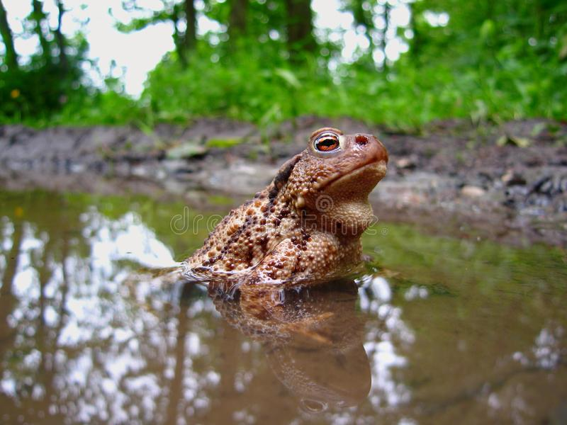 Common Toad, bufo bufo, Eifel National Park, North Rhine-Westphalia, Germany. Common Toad,  bufo bufo, sitting in a pool of water on a rainy spring day in the royalty free stock images