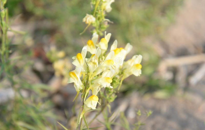 Common toadflax, Lat. Linaria vulgaris. royalty free stock images