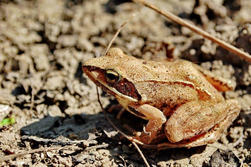 Common tree frog Polypedates leucomystax royalty free stock photos