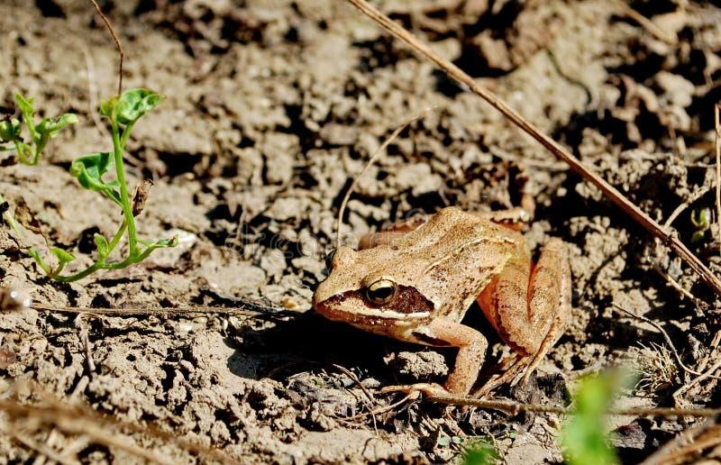 Common tree frog Polypedates leucomystax royalty free stock images