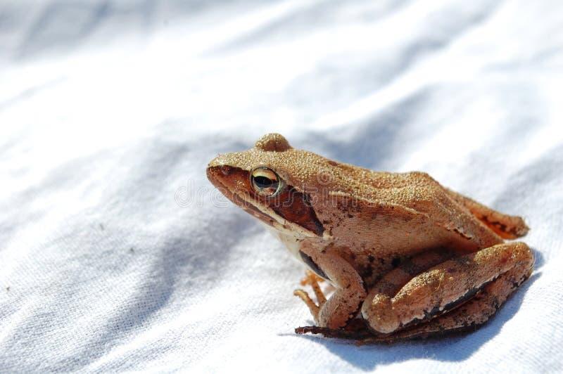 Common tree frog Polypedates leucomystax royalty free stock photography