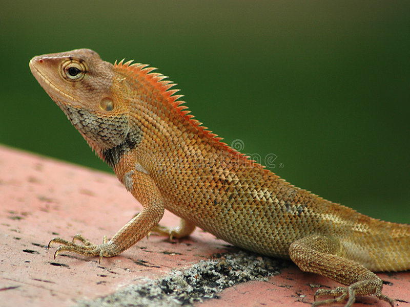 Download Common Tree Lizard stock photo. Image of exotic, iguana - 87426
