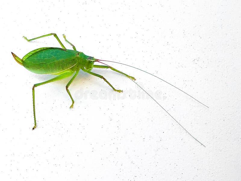 Common True Katydid, Pterophylla camellifolia, closeup of green grasshopper bug, copy space, white background. Horizontal aspect stock photos