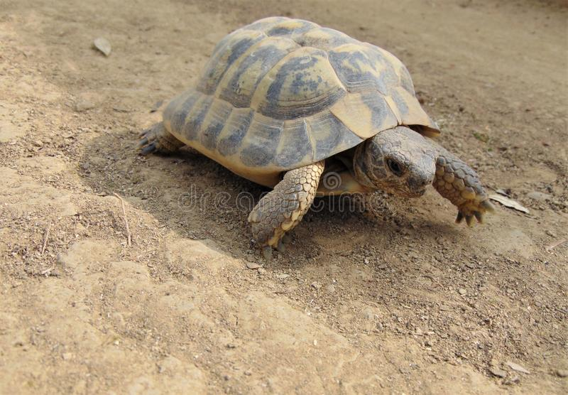 Common turtle, mediterranean spur thighed tortoise walking on the ground on a sunny day. Ordinary turtle, mediterranean spur thighed tortoise,  about 10-15 cm in stock photos