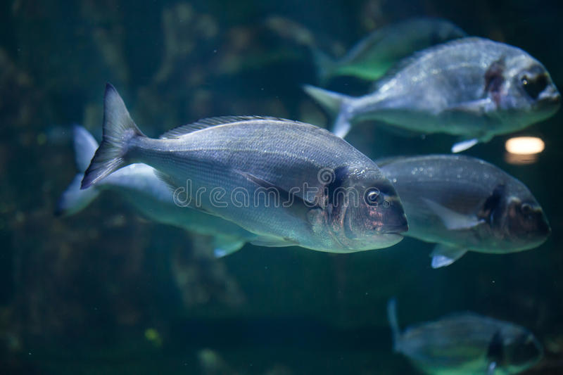 Common two-banded seabream (Diplodus vulgaris) stock photography