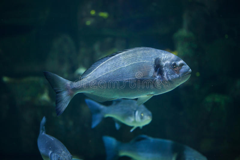 Common two-banded seabream Diplodus vulgaris stock photography