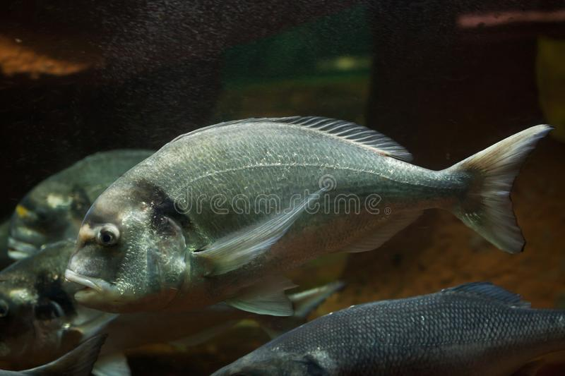 Common two-banded seabream Diplodus vulgaris royalty free stock photography