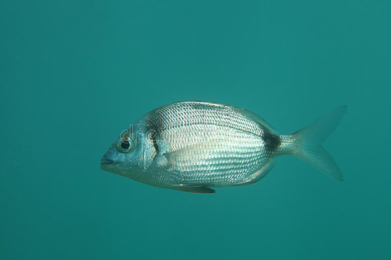 Common two-banded seabream royalty free stock photos