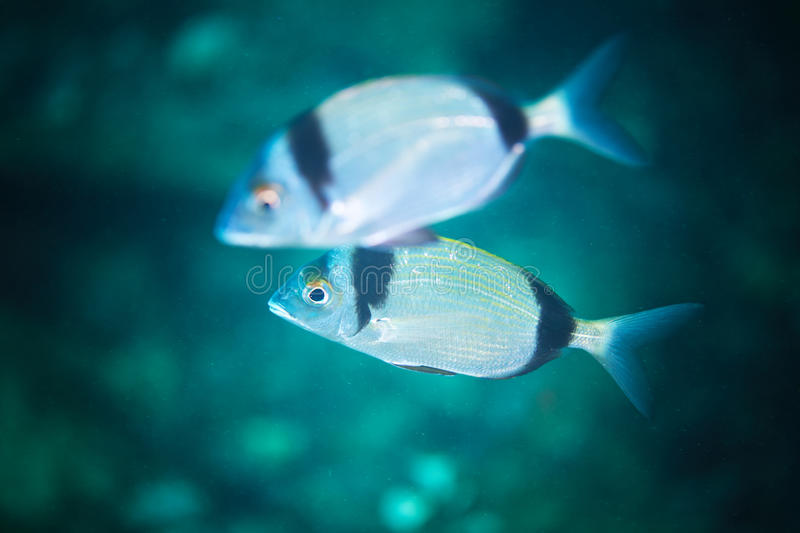 Common two-banded seabream stock photos