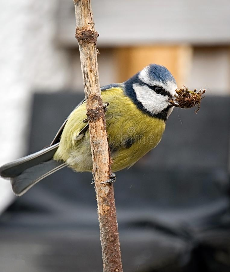 Common UK garden bird - Blue Tit royalty free stock images