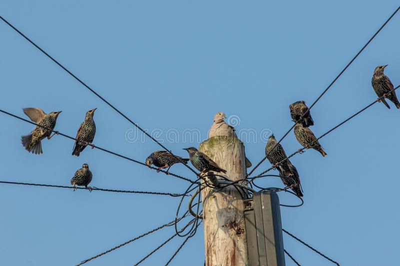 Common urban bird pests. Pigeon and starlings on telegraph pole. Wires. Nuisance animals that are considered as vermin. Blue sky background with copy space stock photo