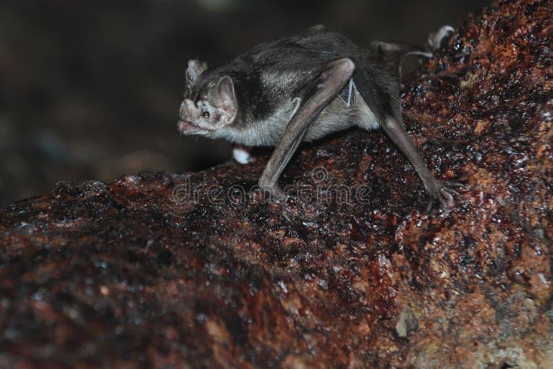 Common vampire bat royalty free stock photography