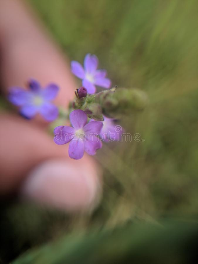 The common vervain or common verbena royalty free stock photography