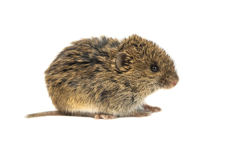 Common Vole on white stock photography