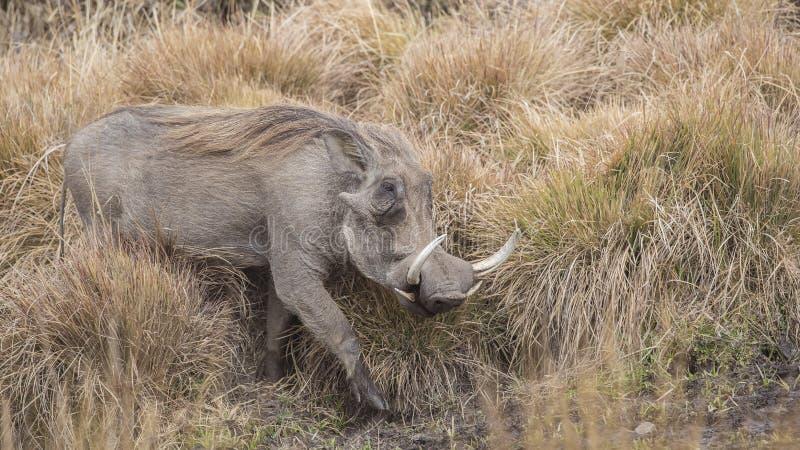 Common Warthog Among Bushes royalty free stock photo