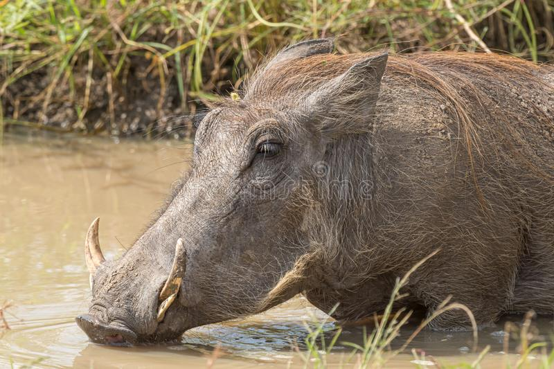 Common warthog drinking water in a muddy pond royalty free stock images