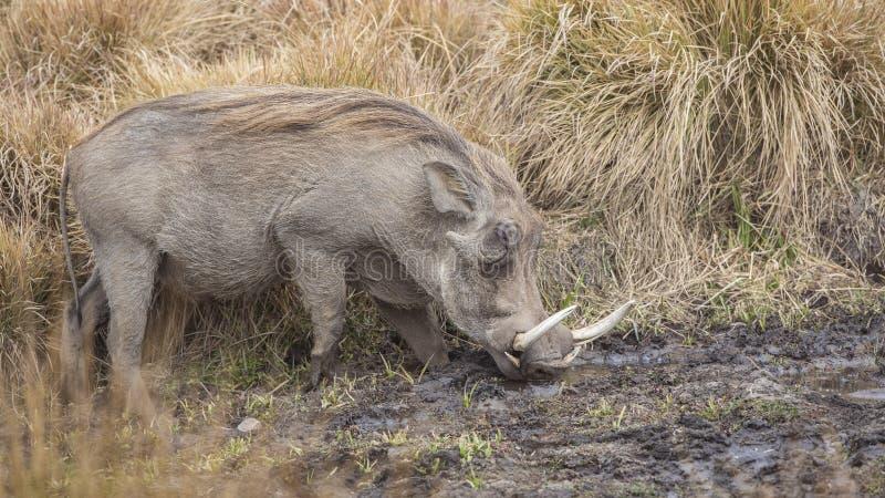 Common Warthog Feeding royalty free stock images