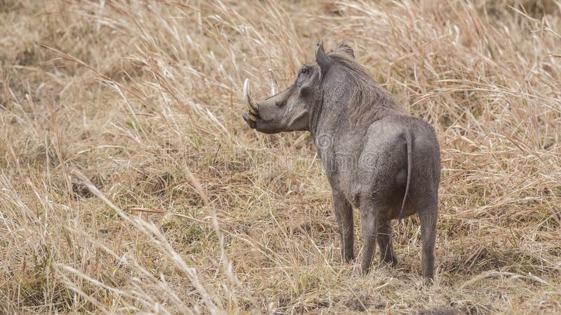Common Warthog in Field royalty free stock photo