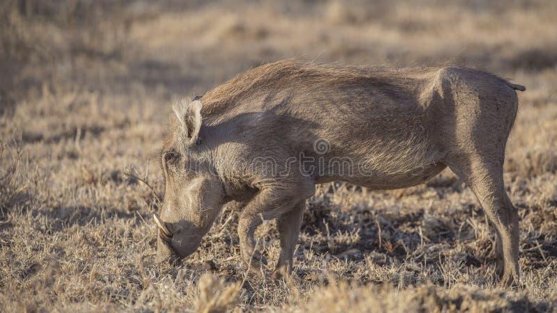Common Warthog in Grassland stock image