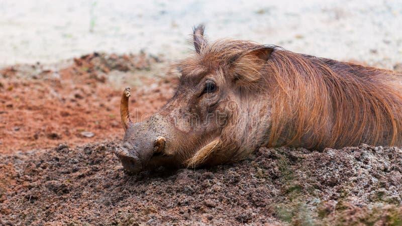Common Warthog royalty free stock image