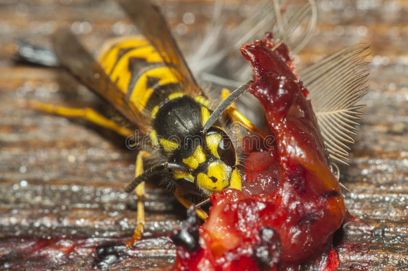 Common Wasp royalty free stock photos