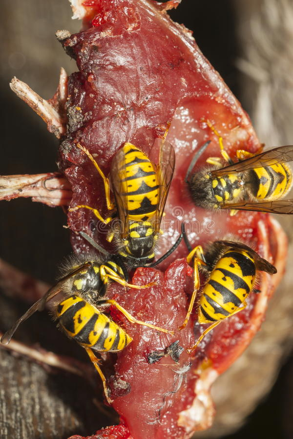 Common Wasps royalty free stock photography