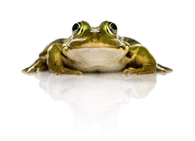 Common Water Frog in front of a white background stock images