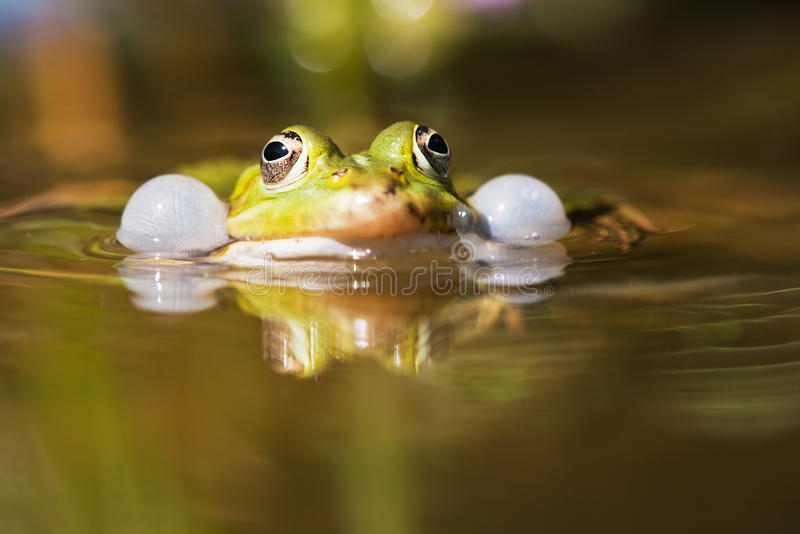 Common water frog with sound-bubbles royalty free stock images