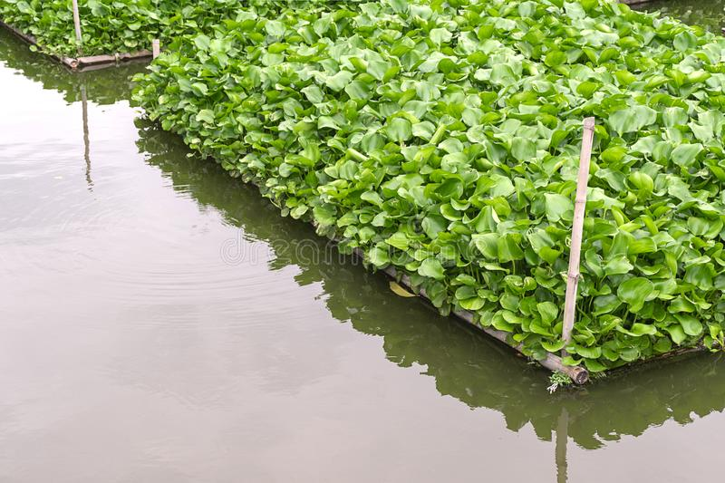 Common water hyacinth,Eichhornia crassipes,Aquatic plant native to the Amazon basin,Highly problematic invasive species outside royalty free stock photos