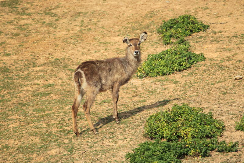 Common waterbuck royalty free stock photos